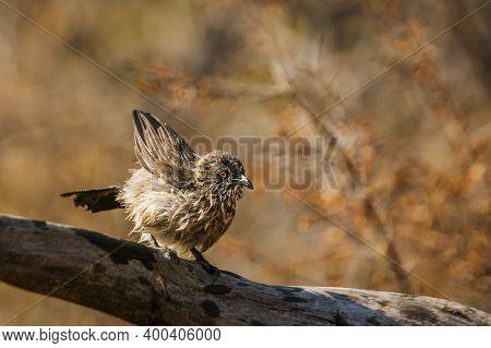 Arrow Marked Babbler Shaking Feather After Bath In Kruger National Park, South Africa ; Specie Turdo