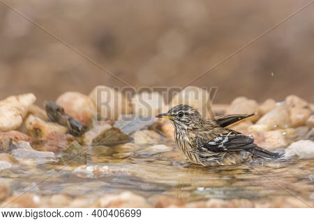 Red Backed Scrub Robin Bathing In Waterhole In Kruger National Park, South Africa; Specie Cercotrich