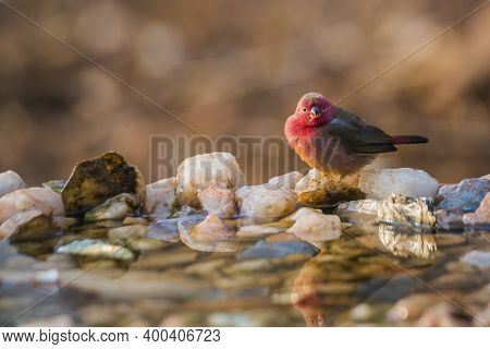 Red-billed Firefinch Standing At Waterhole In Morning Light In Kruger National Park, South Africa ;