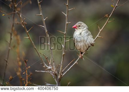 Red-billed Quelea Perched On A Branch With Natural Background In Kruger National Park, South Africa