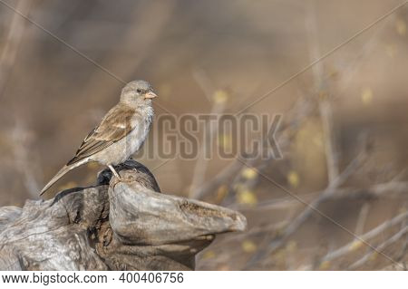 Southern Grey-headed Sparrow Standing In A Log With Natural Blur Background In Kruger National Park,