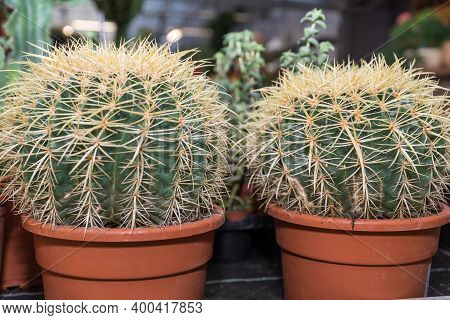 Houseplant Gold Ball Cactus Or Mother-in-law's Chair - Prickly Houseplant, Large Cactus