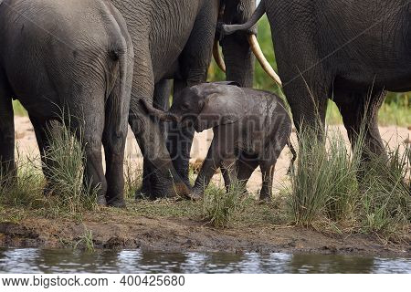 The African Bush Elephant (loxodonta Africana) Baby Elephant Among Legs Between His Mother And Aunts