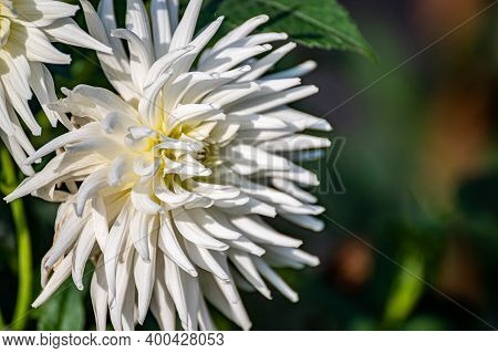 Blooming White Dahlias On Blurred. The Varietal Flowers. Peonies In The Autumn Garden.