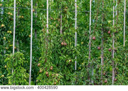 Green Organic Orchards With Rows Of Conference Pear Trees With Ripening Fruits In Betuwe, Gelderland