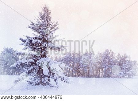 Christmas tree in the forest. Winter Christmas landscape - snowy Christmas fir tree in the winter forest under falling snow in cold evening. Winter forest scene with falling snowflakes at sunset