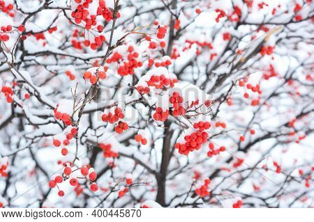 Sorbus Tree, Rowan Or Mountain-ash  With Small Red Berries, Food For Birds, Covered With White Snow