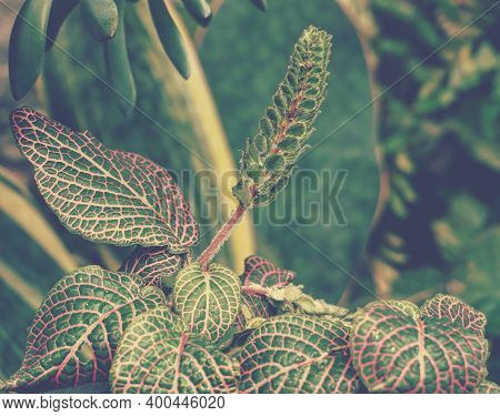 Photo Of Fittonia Nerve Plants In The Garden