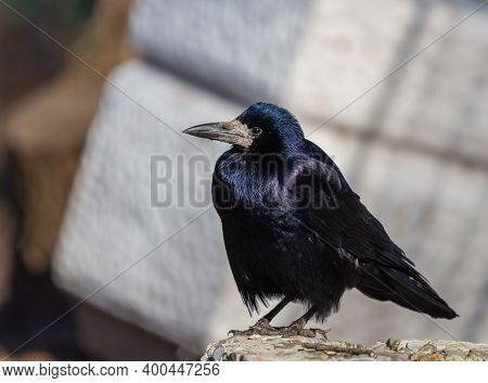 Black Carrion Crow Or Corvus Corone Bird In City Park.