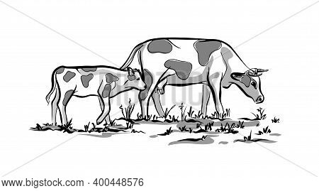 A Cow With Its Calf Eating Grass. The Illustration Is Black And White. Sketch By Hand. Vector On An