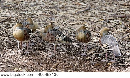 Five Ducks With Heads Tuck Into Their Wings As They Rest In The Shade On A Hot Summer Day