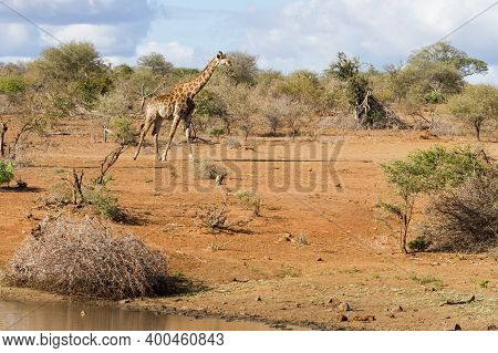 Scenic Landscape View Of Solitary Adult Giraffe Walking Alone Through The Sandy Bushveld Next To A W