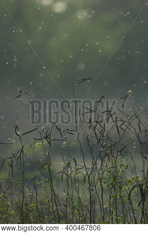 Leguminous Plants And Flying Insects With Backlight. Keoladeo Ghana National Park. Bharatpur. Rajast