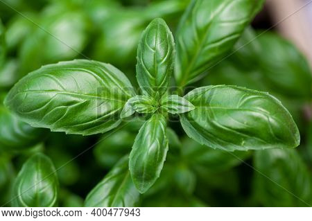 Close Up Studio Shot Of Fresh Green Basil Herb Leaves Isolated On White Background. Sweet Genovese B
