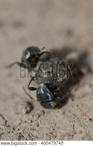 Two Dung Beetles Fighting Over A Ball Of Dung. Keoladeo Ghana National Park. Bharatpur. Rajasthan. I