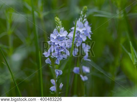 Blue Flowers Of Veronica Chamaedrys Or Veronica Officinalis, In A Forest Glade. Natural Background W