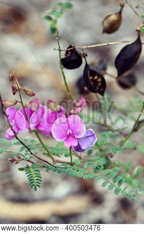 Purple Flowers And Black Seed Pods Of Australian Indigo, Indigofera Australis, Family Fabaceae. Wide