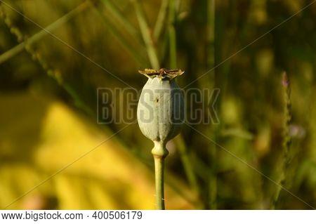 Flower Bud Of Opium Poppy, Opium Or Royal Poppy (papaver Somniferum).