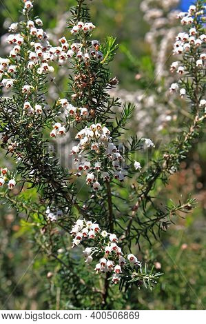 Erica Arborea, The Tree Heath Or Tree Heather, Is A Species Of Flowering Plant  In The Heather Famil