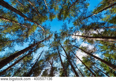 Dense Forest From The Trunks Of Pine Trees With Green Needles Bottom Up View On The Blue Sky, Eco Fr