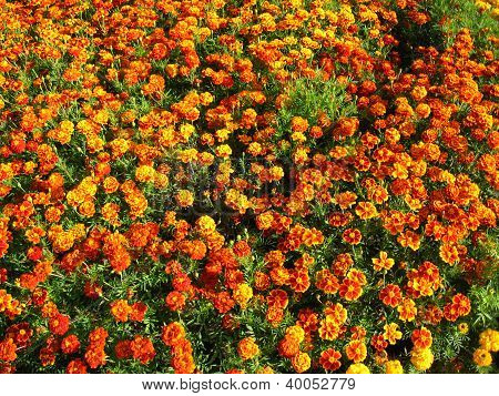 flowers of motley and velvet tagetes
