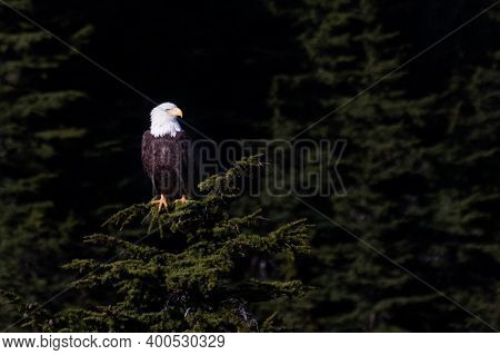 Bald Eagle Above Mt Roberts Tramway In Juneau Alaska