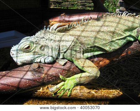 green big iguana in zoo