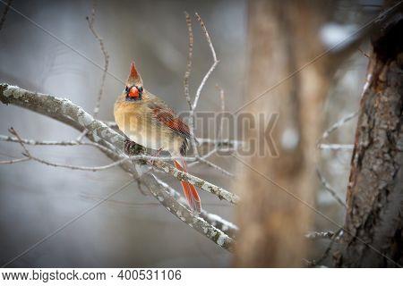 Female Northern Cardinal (cardinalis Cardinalis) Perched On A Tree Limb During Autumn. Selective Foc