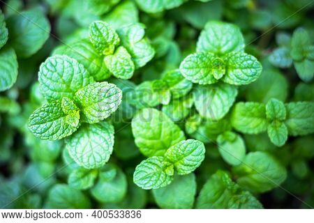 Peppermint mint twigs closeup. Herbal spearmint aromaingredient