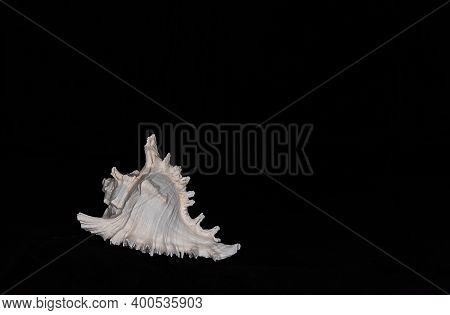 Still Life Marine Life, Subject Photography, Alabaster Chicoreus Or Alabaster Murex Gastropod Mollus