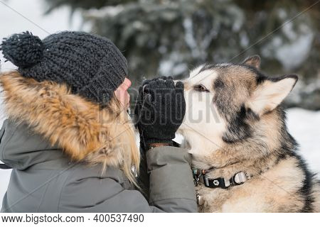 Woman Holding Alaskan Malamute Nose In Winter Forest. Close Up.