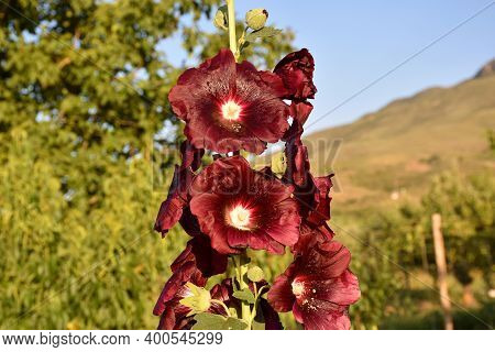 Malva Plant (alcea Rosea) With Flowers, Red-purple Petals.