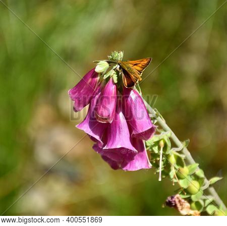 Deep Pink Flowers Of Digitalis Purpurea With Daytime Butterfly On Top.