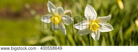Nature Rustic Spring Background With Yellow Flowers Daffodils Growing In The Garden. Beautiful Wide