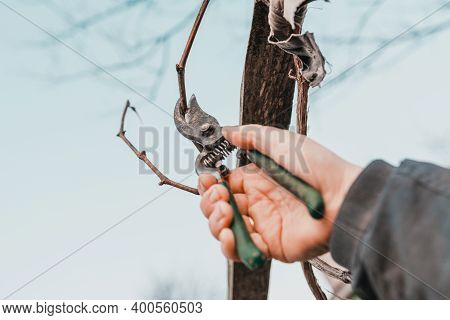 Work In The Garden, Autumn Pruning Of Grape Branches, A Woman Prunes The Extra Shoots Of Grapes.
