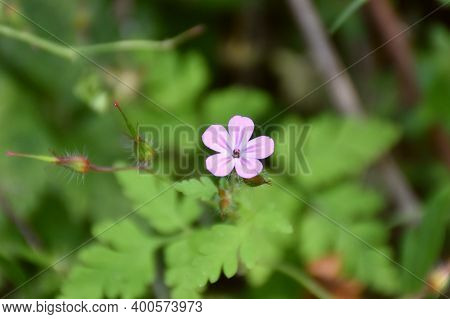 Small Pink Flower Of Geranium Robertianum Beside A Country Road.