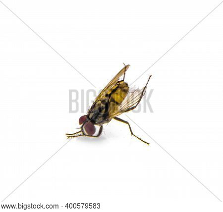 Housefly (musca Domestica) An Isolated On White Background