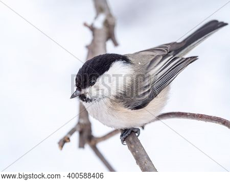 Cute Bird The Willow Tit, Song Bird Sitting On A Branch Without Leaves In The Winter. Willow Tit Per