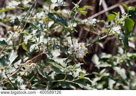 White Umbel Inflorescences Bloom From Greenspot Nightshade, Solanum Douglasii, Solanaceae, Native An