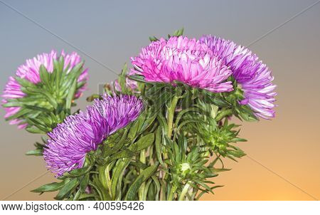 Beautiful Asters At Dawn Background. Aster Is A Popular Plant That Blooms All Year Round. Refers To