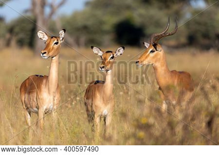 Impala Antelope Male And Two Females (aepyceros Melampus) Caprivi Strip Game Park, Bwabwata Namibia,