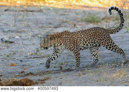 South African Leopard Walking On River Bank, Chobe, Panthera Pardus, Chobe National Park, Botswana,