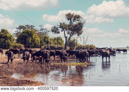 Herd Of Most Dangerous Animal In Africa, African Cape Buffalo At Chobe National Park, Botswana Safar