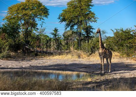 Beautiful South African Giraffe In African Bush On Small Waterhole, Moremi Game Reserve Botswana, Af