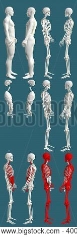 12 In 1, Male Body With Skeleton And Internal Organs - Colored Physiology Concept For Science - Crea