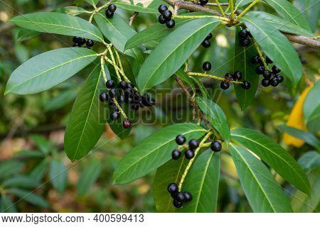 Prunus Laurocerasus Or Otto Luyken - Berries Of Cherry Laurel.