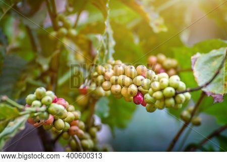 Fresh Arabica Or Robusta Coffee Bean On Coffee Tree,fresh Seed Coffee On Plant