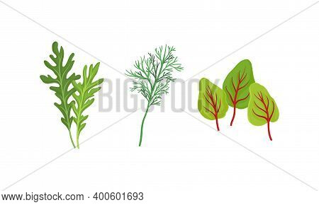 Aromatic Herbs With Dill For Flavoring And Garnishing Food Vector Set