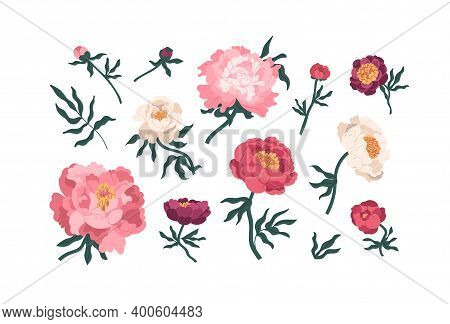 Collection Of Elegant Blooming Japanese Peonies Vector Flat Illustration. Set Of Romantic Peony Buds