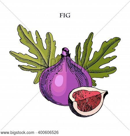 Fig Hand Drawn Vector Illustration.detailed Engraving Style Sketch. Summer Fruit, Isolated On The Wh
